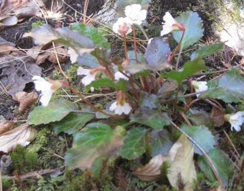 Northern Oconee Bells, endangered species protected at a McDowell County site. Photo: Katherine Schlosser