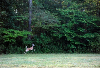 Deer leaps at edge of woods in north Mecklenburg. Photo: Nancy Pierce