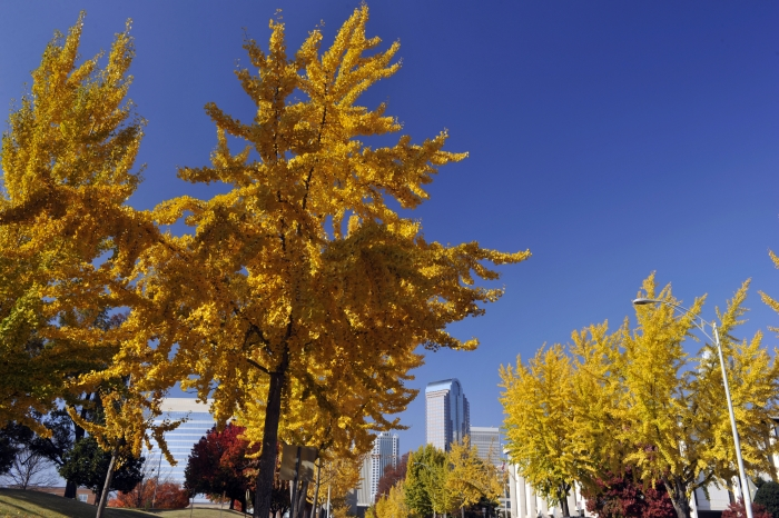 Gingko trees in uptown Charlotte show their colors in November. Photo: Nancy Pierce