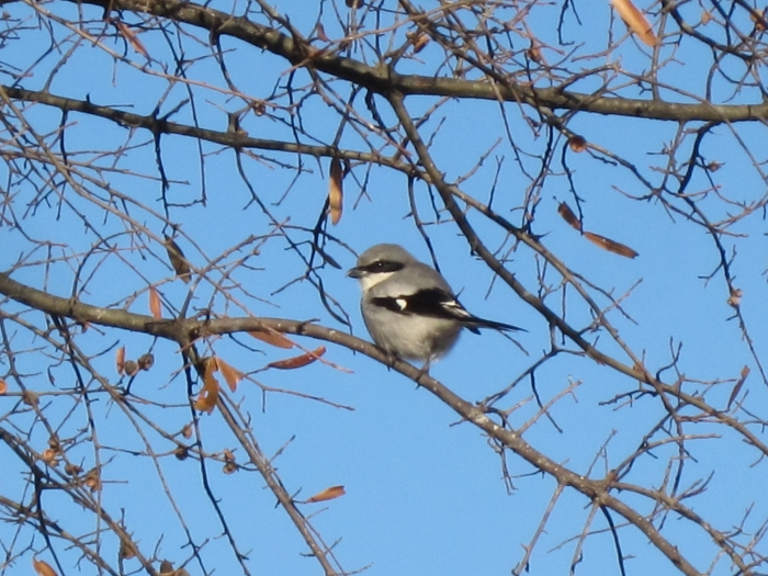 This loggerhead shrike, nesting near the Regal Starlight movie theater in northeast Mecklenburg County, was one of the last of its species in the county. The bird and its mate are no longer there. Photo: Tom Sanders 2011