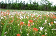 The Suther Prairie in Cabarrus County, blooming with atamasco lilies and Indian paintbrush. Photo courtesy Three Rivers Land Trust